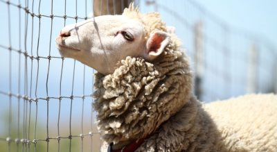 Sheep industry goes from death-knell to global star in just…