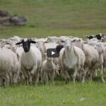 Innovation in WA sheep industry