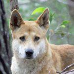 Best dingo defence