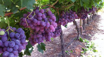 Nutrano buys major Sunraysia citrus and grape business