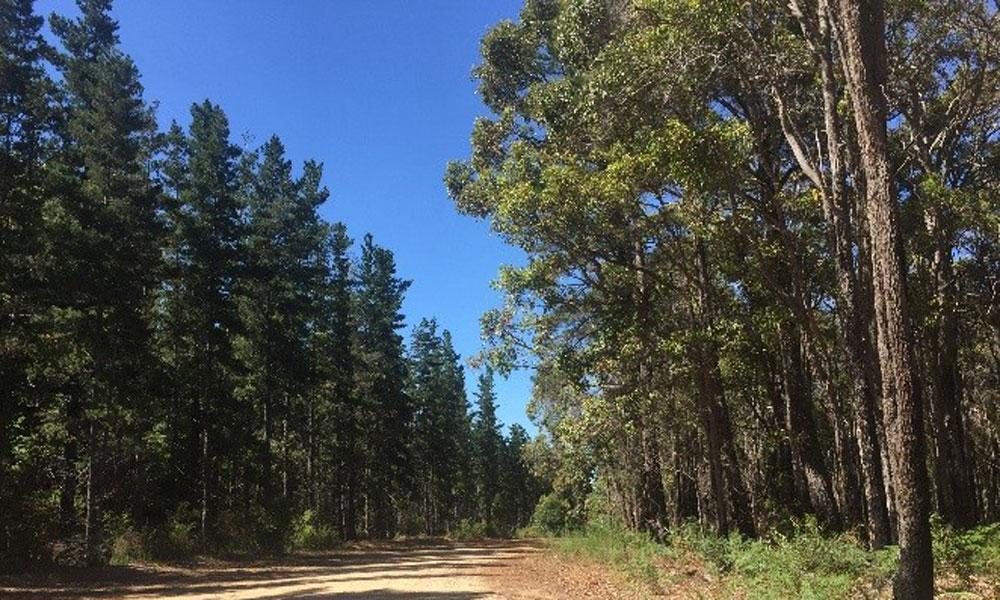 Pine invasion