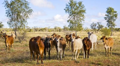 Beef farm income on the rise ahead of Casino Beef…