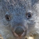 Fencing protects rare wombat joey