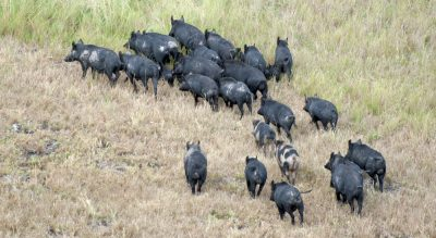 Extensive knockdown of feral pigs