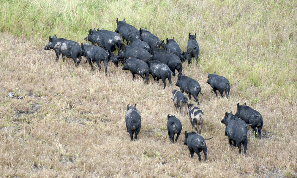 feral pigs group