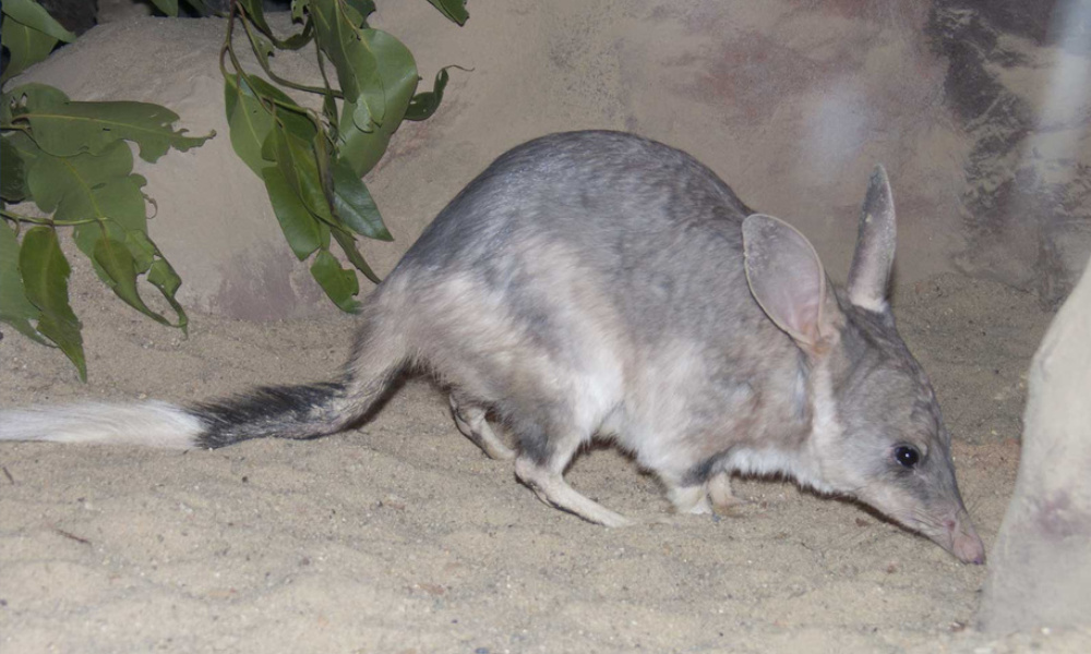 Fencing lets bilbies run wild the fence