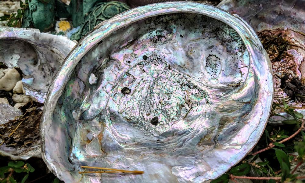 abalone stock image