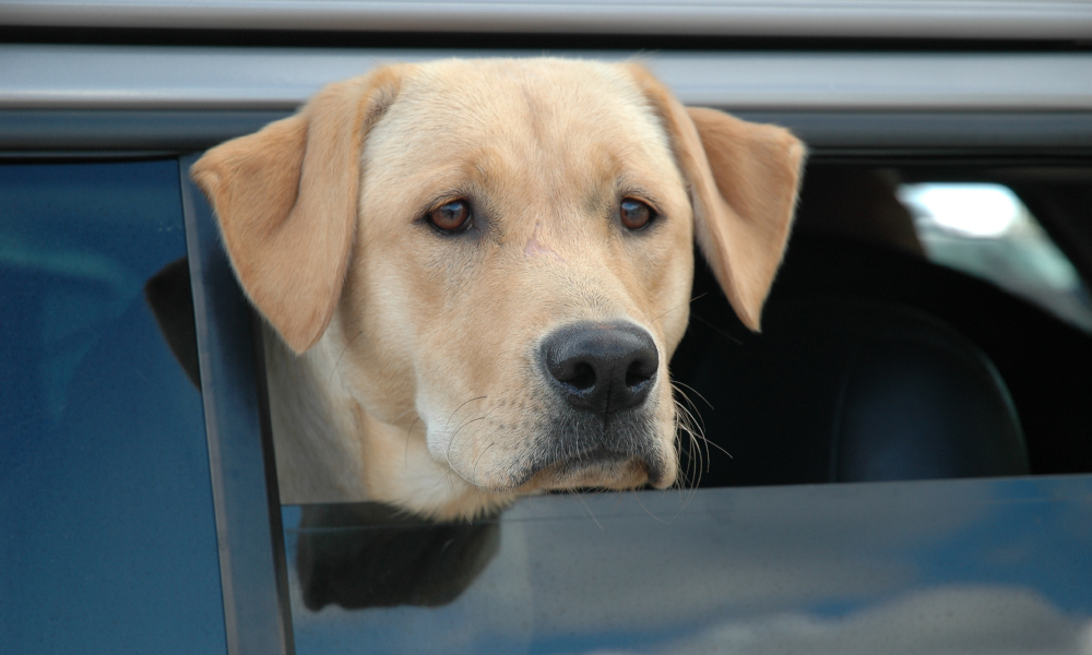 dog in car disapproves of being left in the car stock image