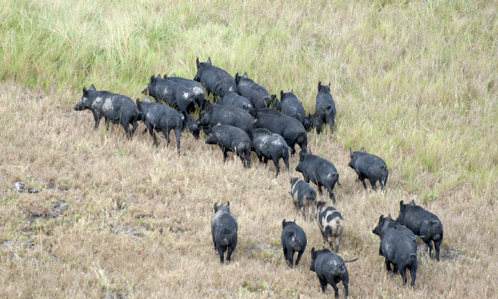 feral pigs rural stock image