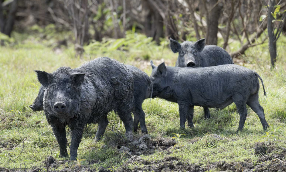 feral pigs tf october 2019