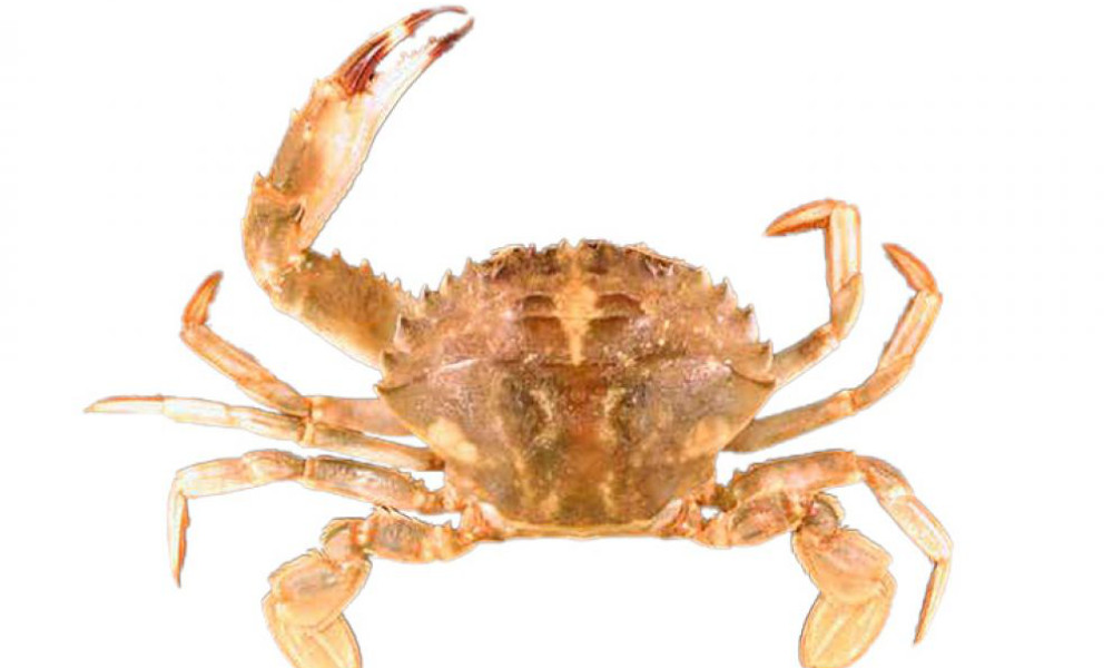 Source: Pale Asian Paddle Crab. Source: Western Australian Museum