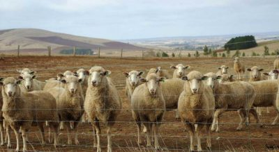 Sheep industry goes from death-knell to global star