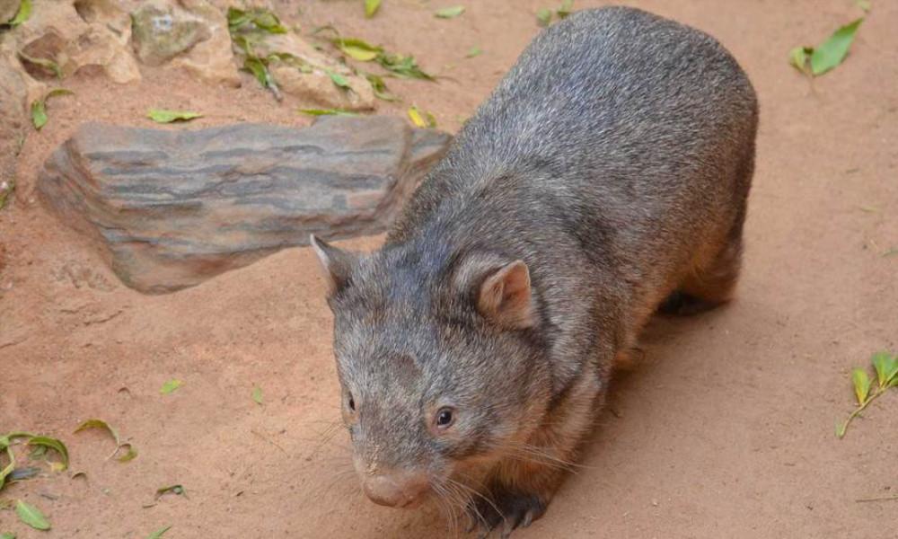wombat tf november 2019