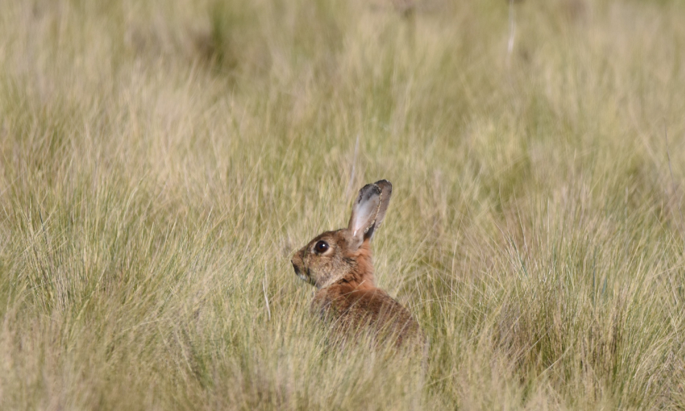 feral rabbit canberra stock image
